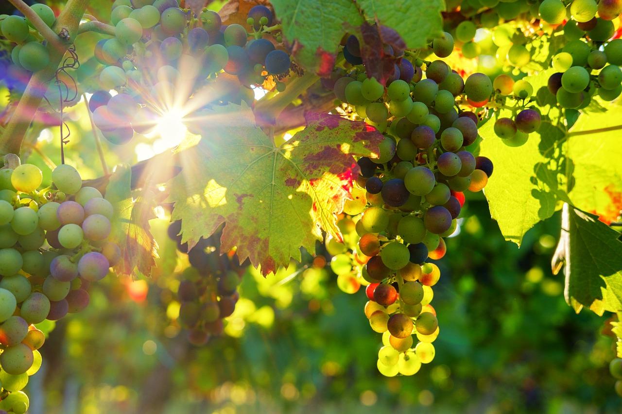La vigne de Bourgogne est un marqueur du réchauffement climatique